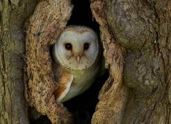 Barn Owl Owl 2014-22copyright-photographers-on-safari-com