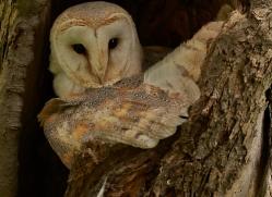 Barn Owl Owl 2014-24copyright-photographers-on-safari-com