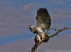 Chilean Blue Eagle 2014-3copyright-photographers-on-safari-com