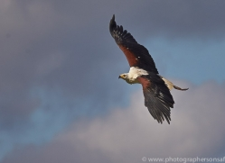 Fish Eagle 2014-1copyright-photographers-on-safari-com