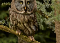 Great Grey Owl 2014-1copyright-photographers-on-safari-com
