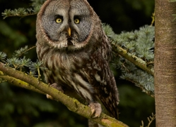 Great Grey Owl 2014-2copyright-photographers-on-safari-com