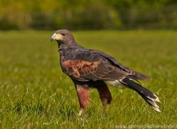 Harris Hawk 2014-1copyright-photographers-on-safari-com