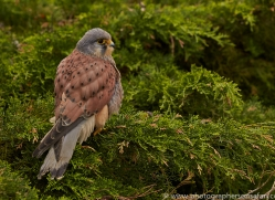 Kestrel 2014-8copyright-photographers-on-safari-com