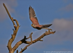 Kestrel 2014-9copyright-photographers-on-safari-com