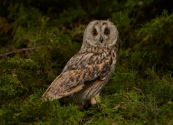 Long Eared Owl 2014-15copyright-photographers-on-safari-com