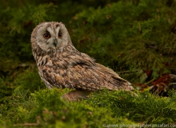 Long Eared Owl 2014-16copyright-photographers-on-safari-com