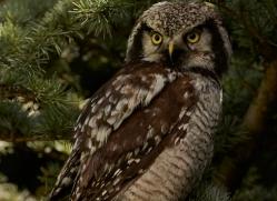 Northern Hawk Owl 2014-1copyright-photographers-on-safari-com