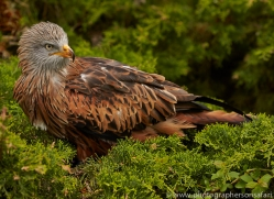 Red Kite 2014-1copyright-photographers-on-safari-com