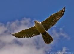 Saker Falcon 2014-1copyright-photographers-on-safari-com