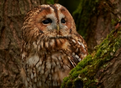 Tawny Owl 2014-11copyright-photographers-on-safari-com