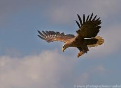 White Tailed Sea Eagle 2014-1copyright-photographers-on-safari-com