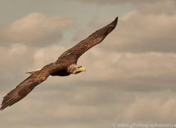 bald-eagle-copyright-photographers-on-safari-com-8234