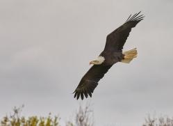 bald-eagle-copyright-photographers-on-safari-com-8235