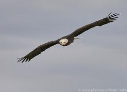 bald-eagle-copyright-photographers-on-safari-com-8236