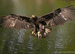 bald-eagle-juvenile-584-bedford-copyright-photographers-on-safari-com