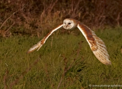 barn-owl-575-bedford-copyright-photographers-on-safari-com