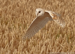 barn-owl-copyright-photographers-on-safari-com-8237