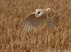 barn-owl-copyright-photographers-on-safari-com-8238