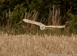 barn-owl-copyright-photographers-on-safari-com-8239