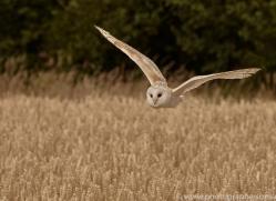 barn-owl-copyright-photographers-on-safari-com-8240
