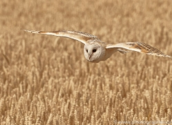 barn-owl-copyright-photographers-on-safari-com-8241