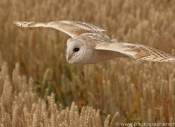 barn-owl-copyright-photographers-on-safari-com-8242