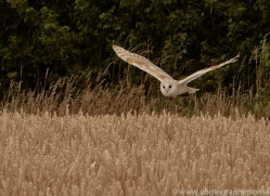 barn-owl-copyright-photographers-on-safari-com-8244