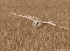 barn-owl-copyright-photographers-on-safari-com-8245
