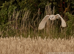 barn-owl-copyright-photographers-on-safari-com-8247
