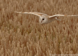 barn-owl-copyright-photographers-on-safari-com-8248