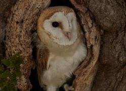 barn-owl-copyright-photographers-on-safari-com-8249