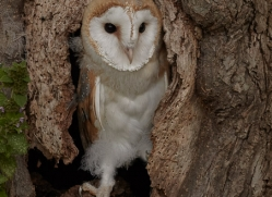 barn-owl-copyright-photographers-on-safari-com-8251