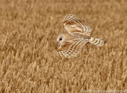 barn-owl-copyright-photographers-on-safari-com-8252