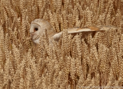 barn-owl-copyright-photographers-on-safari-com-8253