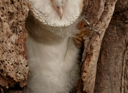 barn-owl-copyright-photographers-on-safari-com-8255
