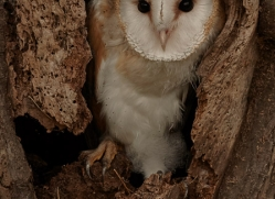 barn-owl-copyright-photographers-on-safari-com-8256