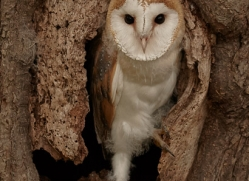barn-owl-copyright-photographers-on-safari-com-8257