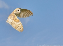 barn-owl-copyright-photographers-on-safari-com-8261