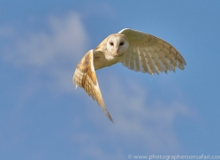 barn-owl-copyright-photographers-on-safari-com-8263