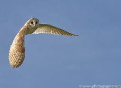 barn-owl-copyright-photographers-on-safari-com-8265