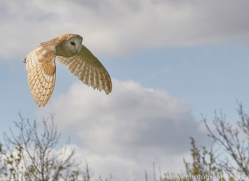 barn-owl-copyright-photographers-on-safari-com-8267