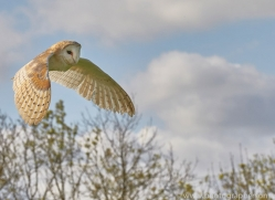 barn-owl-copyright-photographers-on-safari-com-8268