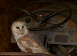 barn-owl-copyright-photographers-on-safari-com-8270