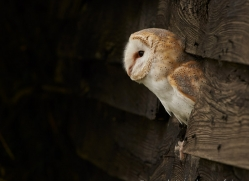 barn-owl-copyright-photographers-on-safari-com-8273