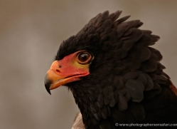 bateleur-eagle-566-bedford-copyright-photographers-on-safari-com
