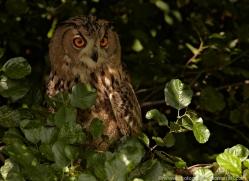 european-eagle-owl-573-bedford-copyright-photographers-on-safari-com