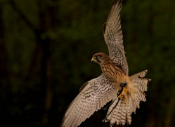 european-kestrel-552-bedford-copyright-photographers-on-safari-com