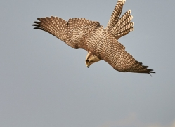 falcon-hybrid-copyright-photographers-on-safari-com-8302