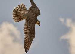 falcon-hybrid-copyright-photographers-on-safari-com-8303